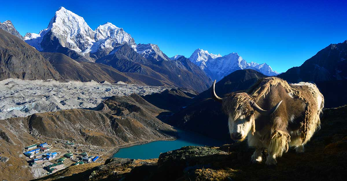 Gokyo Lake and Yak